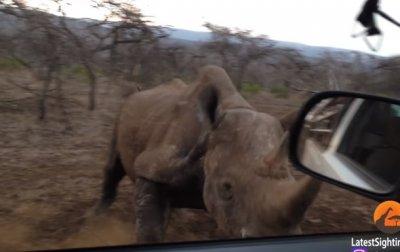 Атакующего авто носорога сняли на видео - (видео)