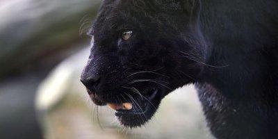 В Кении впервые за 100 лет сфотографировали уникального черного леопарда