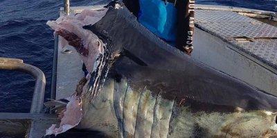 В Австралии рыбак выловил откушенную голову акулы весом в центнер