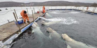 """В Приморье подписано соглашение о судьбе обитателей """"китовой тюрьмы"""""""