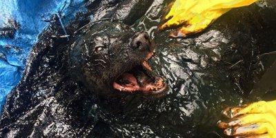 Биробиджанские спасатели спасли из битумной ямы огромного пса