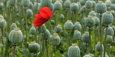 В России разрешили выращивать коноплю и опийный мак в медицинских целях