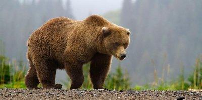 Житель Тывы откусил медведю язык в драке
