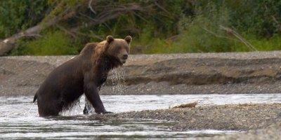 Медведь задрал 12 лошадей депутата Госдумы