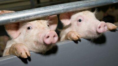 Под Львовом зафиксирована масштабная вспышка африканской чумы свиней - «Новороссия»