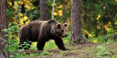 В Комсомольске-на-Амуре медведь похитил покойника и утащил в лес