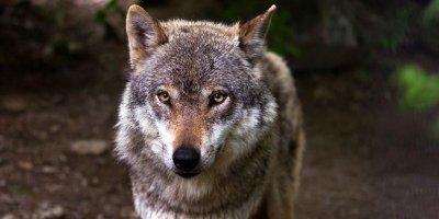 Житель Челябинска отделался штрафом за нападение его волка на ребенка в парке