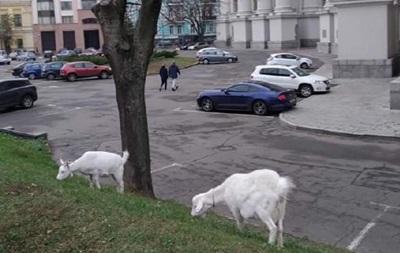 В центре Киева под министерством паслись козы - «Украина»